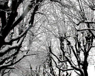 Trees-in-snow