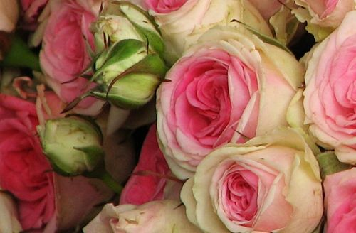 a touch of pink roses