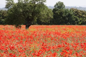 Red-field-of-poppies