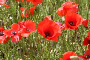 Red-poppies-of-provence