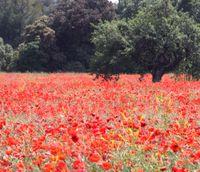 Poppies-under-an-oak-tree