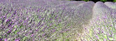 Lavender valensole