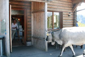 Cow enters cafe in the alps
