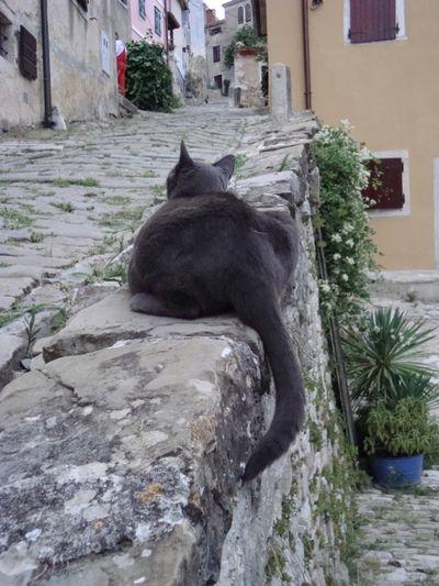 Croatia cat