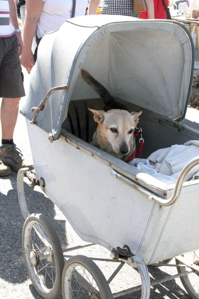 Dog in baby stroller