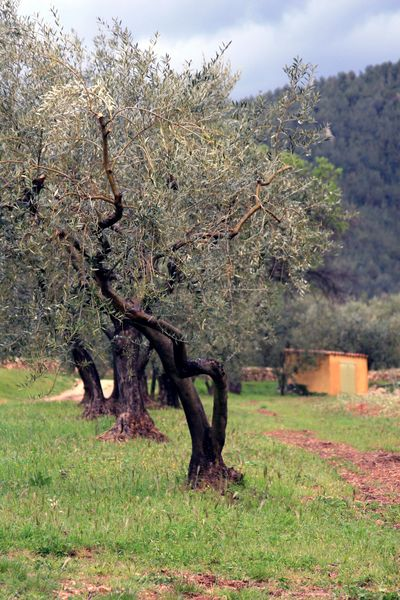 South-of-france-olive-tree