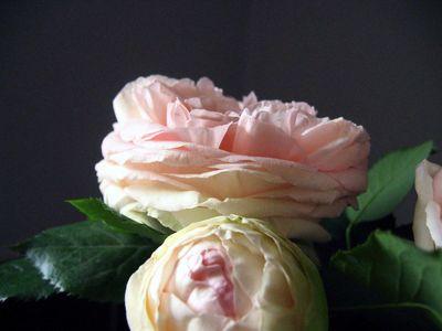 Roses-in-bloom