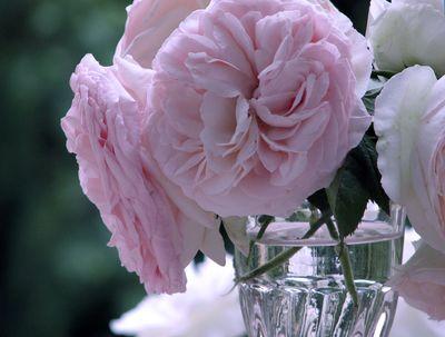 Rose-cloud