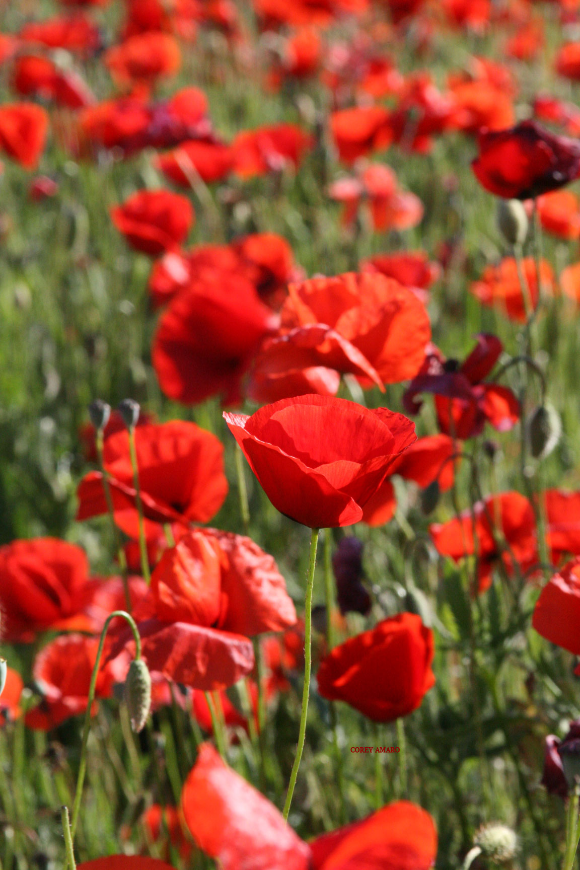 tongue in cheek in search of red poppies