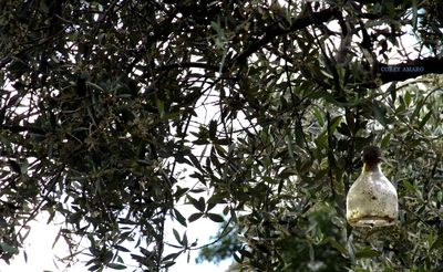 Olive-Orchard-France
