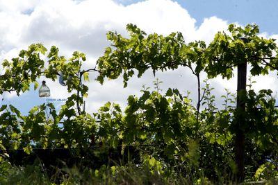French-vineyard