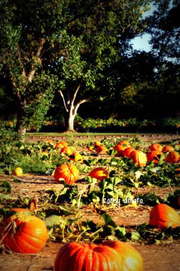 Pumpkin patch bishop farms