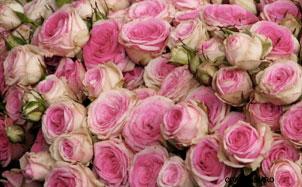 Pink-roses-paris