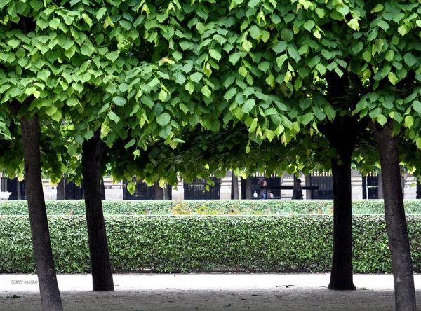Trees-palais-royal