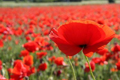 One-red-poppy