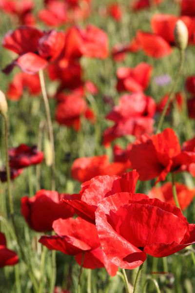 Poppies-red