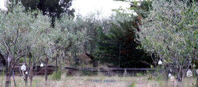 Olive-trees-france