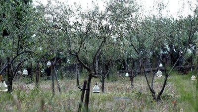 Fly-catchers-in-olive-trees