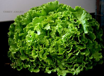 Leafy-lettuce