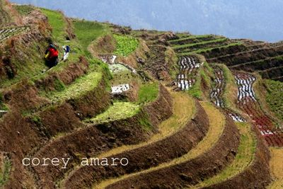 Rice fields longsheng planted