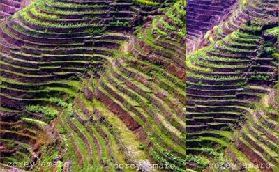 China hand planted rice fields