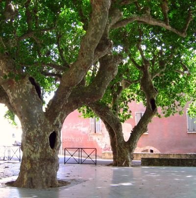 Plane trees in france