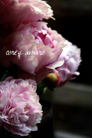 Peonies bloom