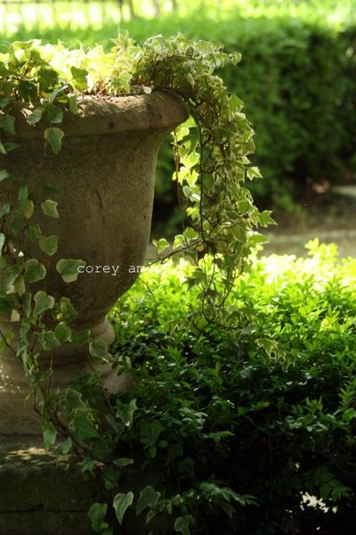 Ivy filled urn