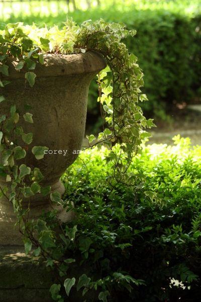 Ivy filled urn