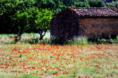 Poppy fields provence