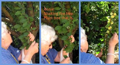 Shaking the plum tree