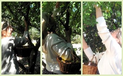 Corey picking apricots
