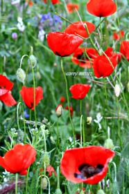French poppies Spring