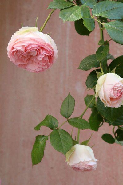 Climbing-roses