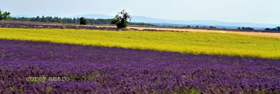 Lavender and fennel, french, countryside