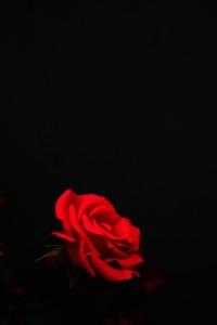Rose bloom Provence Corey Amaro