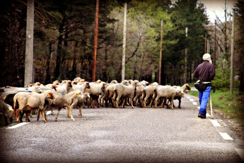 Sheep crossing