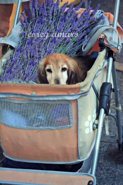 French, dog, Market