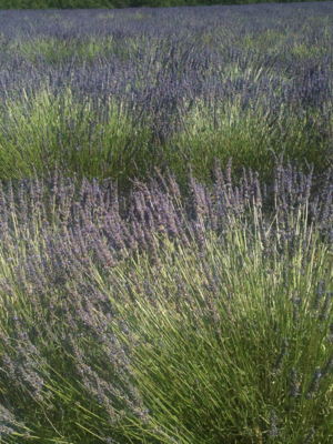 Route of the French Lavender