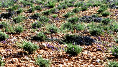 Cut lavender fields
