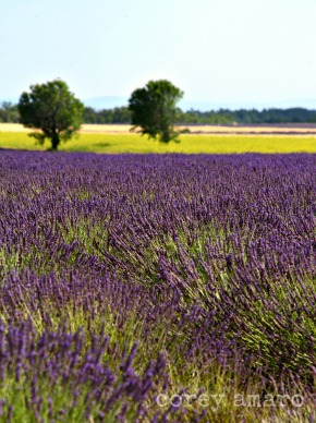 French lavender, France