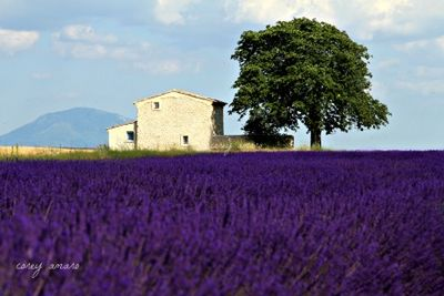 A house in the middle of lavender