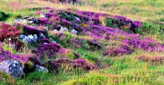 Ireland heather