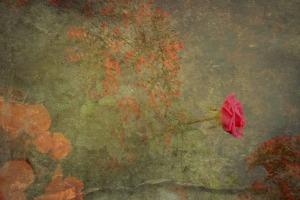 Provence rose Corey Amaro