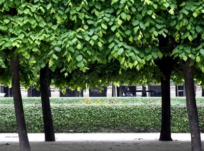 Trees-palais-royal