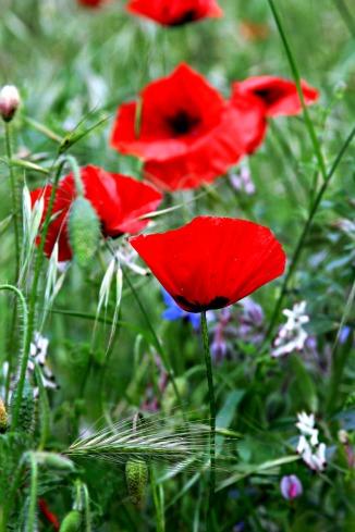 French Red Poppy