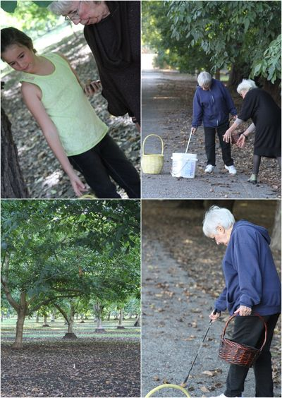 Walnut picking Collage