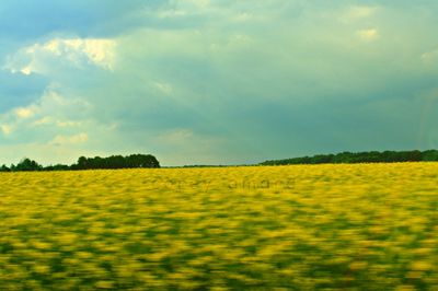 French mustard fields, golden