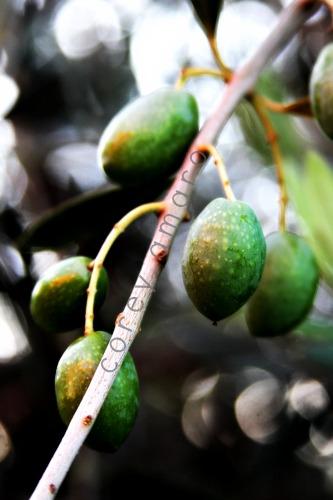 Provencal olive branch