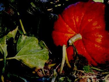 Pumpkin patch thanksgiving